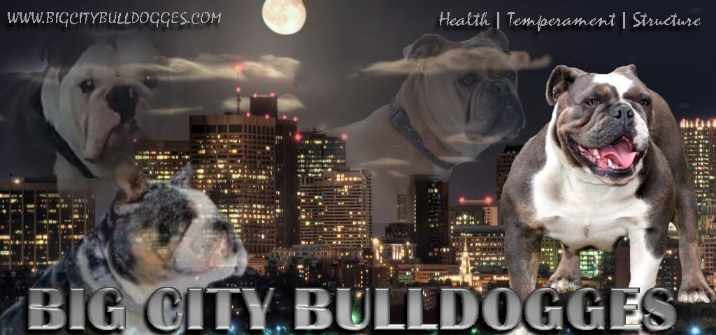 Bulldog Breeder Massachusetts Big City Olde English Bulldogges